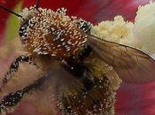 abeille européenne