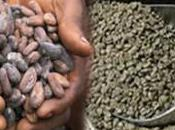 nouvelle race d'intermédiaires dans filières Cacao-café agents relais