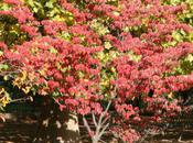 Cornus kousa, parure d'automne