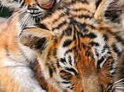 sommet internationnal pour sauver Tigre