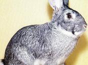 principales lésions externes chez lapin.