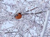 oiseau neiges