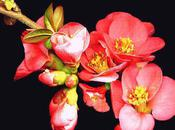 cognassier fleuri (Abbas Kiarostami)