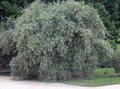 Escallonia illinata, l'arbre curry