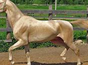 Race chevaux L'akhal-Téké