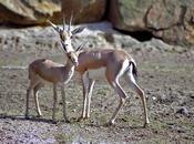gazelle Cuvier (Gazella cuvieri)