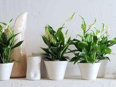 Spathiphyllum, purificateur d'air vivant