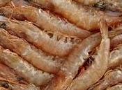 crevettes crues :nouveau graal gustatif?