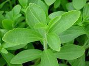 Stevia,la Revolution sucrée