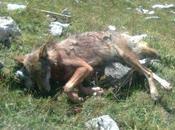 Encore loups trinquent, aura tués plus