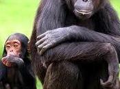 politique royaumes chimpanzés