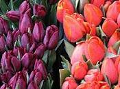 Colette aime tulipes