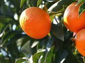 Quel d'orange matin Intérêt Tangor Murcott mono varietal