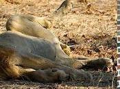 Ochocinco fait pisser dessus lion
