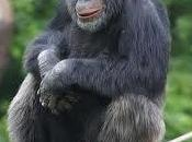 Suède chimpanzé fait preuve d'ingéniosité pour surprendre visiteurs d'un