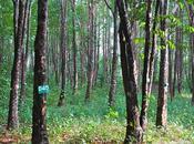 recherche mystérieux Bois Oud, Thaïlande
