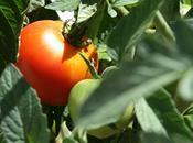 "Pain tomate ""Pan Tomate"""