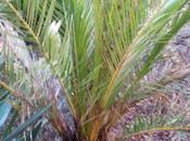 nouveau palmier attaqué charençon rouge...