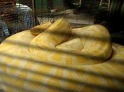 python femelle géant rempli oeufs retrouvé Floride