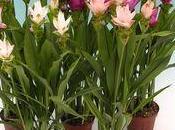 conseils pour votre Curcuma plante