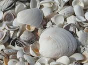Sanibel: capitale mondiale coquillage