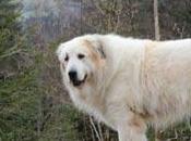 Témoignage propos chiens patous bergers Caucase