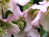 Zoom roses noël Hellebores