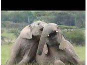 Elephant's play behavior video compilation...