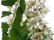 C'est saison fleurs d'acacia