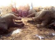 braconniers massacrent éléphants Tchad, dont plus femelles pleines