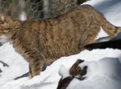 Wildcat, robot-chat fait buzz