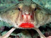Poisson Chauve-Souris Rouge Lèvre