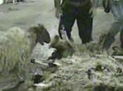 Beyrouth enfer l'abattoir public pour milliers d'animaux..