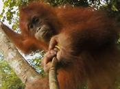 rencontre d'une famille d'orang-outan