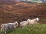 J'ai rencontré mouton Wicklow Mountains