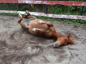 chevaux javanais d'Havetz Anna
