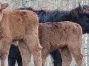 Belgique aurochs bisons pour Cantabrie