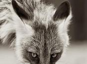 """jour, j'ai attrapé comme jeune renard"""" l'angle renard"""