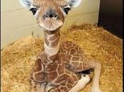 Vidéo hommage Marius girafon Copenhague