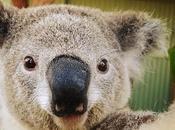 Australie, koalas font selfies