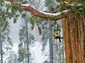 Séquoia géant mètres hauteur Californie