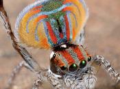 parade nuptiale l'araignée paon