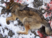 Collision d'Arvieux: loup était empoisonné