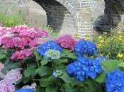 Hydrangea, hortensia stars l'été