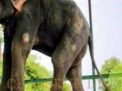 Prisonnier maltraité pendant ans, éléphant pleure lors libération
