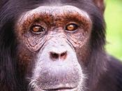 langage chimpanzés décrypté