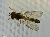 mouches héliophiles quelques sosies déroutants...