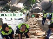 Trafic d'ivoire massacre éléphants continue