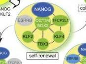 CELLULES SOUCHES: Retour vers totipotence Cell