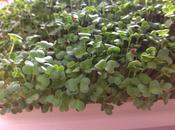 pousses brocoli verdure santé!